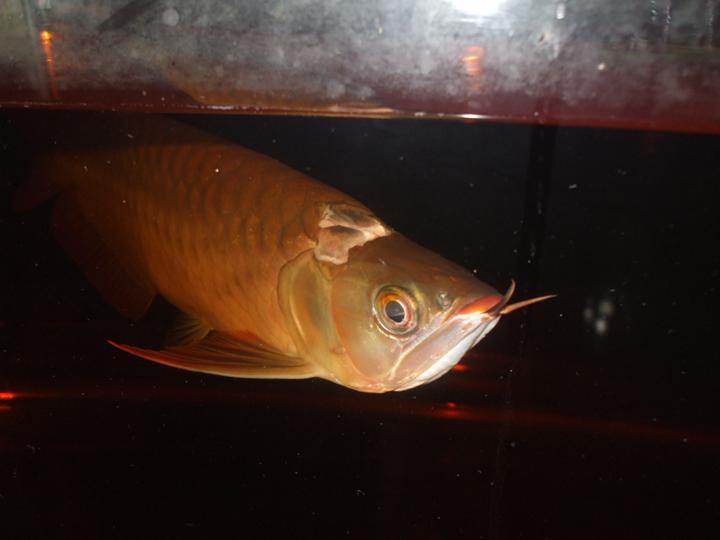 Arowana disease dropped scale arofanatics fish talk forums for Fish scale disease