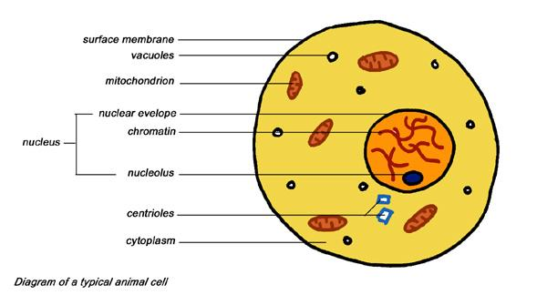 Cross Section Of An Animal Cell http://www.arofanatics.com/forums/showthread.php?t=130793